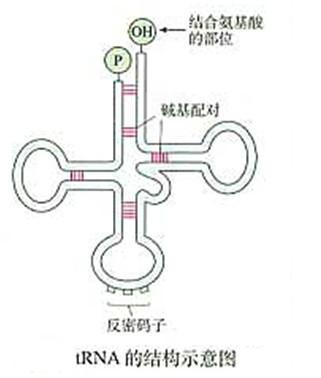 高二生物教案:rna的结构示意图