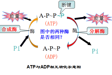 高二生物3教案:细胞的能量通货atp(2)