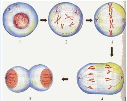 高一生物教案:动物细胞有丝分裂过程