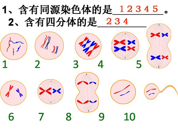 高一生物教案:减数分裂(2)