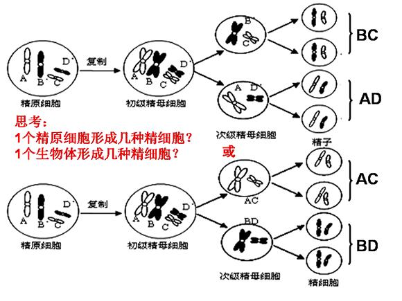 高一生物教案:减数分裂(5)