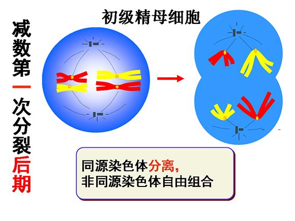高一生物教案:减数分裂和受精作用(2)(第3页)