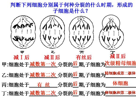 高一生物教案:减数分裂和受精作用(5)