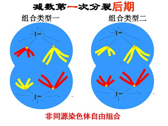 高一生物教案:减数分裂和受精作用(7)