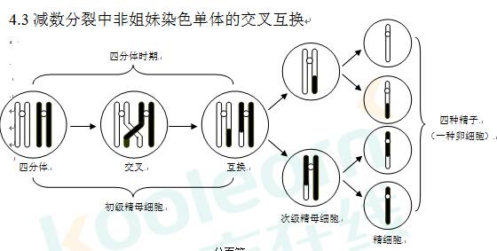 高考生物:减数分裂中非姐妹染色单体交叉互换