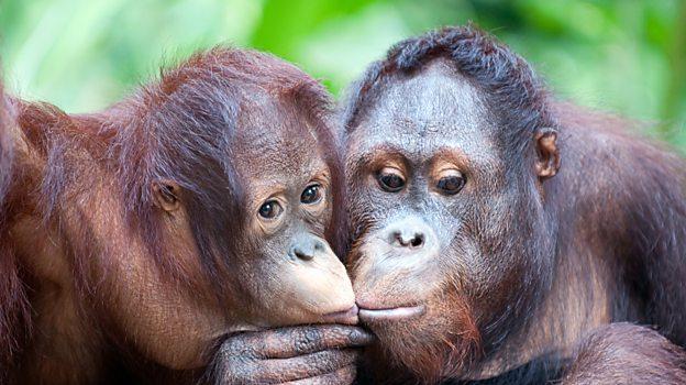 Orangutan squeaks reveal language evolution, says study