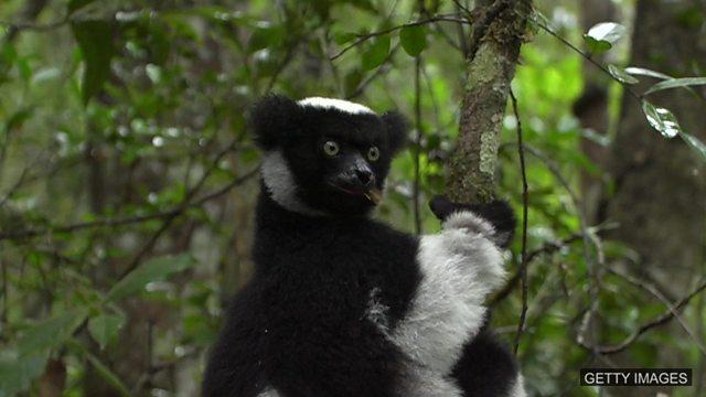 Sapphires v lemurs, cow emissions