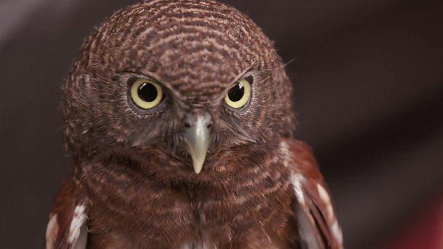 Owls, Toe wrestling