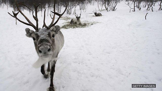 Eating reindeer, shark attacks