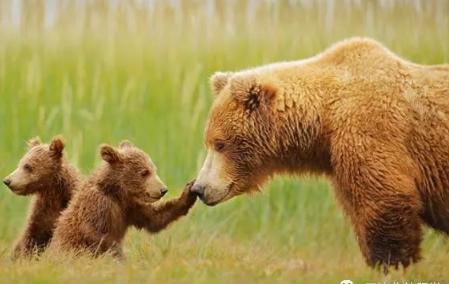 棕熊the Brown Bear介绍:托福词汇