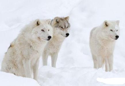北极狼the Arctic wolf介绍:托福词汇