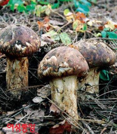 常见的食用菌种类韩语说法:송이버섯松栮