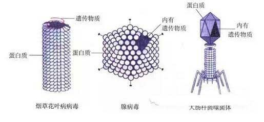 初二生物知识点:病毒