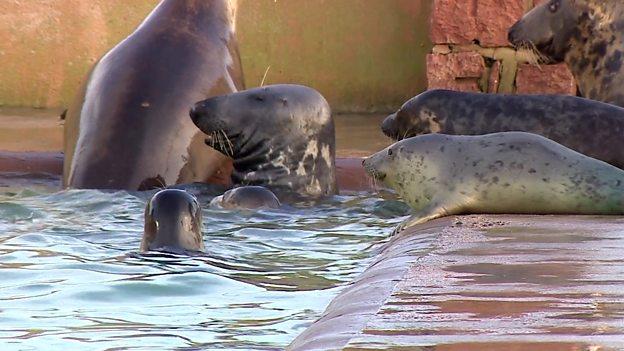 Seal pup accommodation crisis 英国海豹幼崽的收容危机