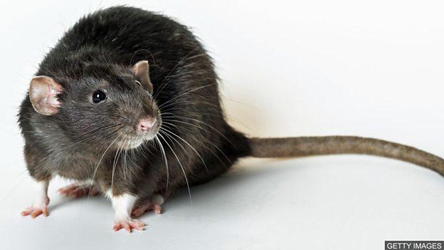 """黑死病""""由人类而非老鼠传播"""""""