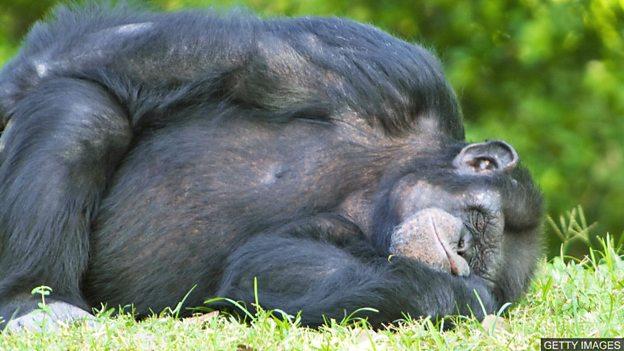 """黑猩猩的""""床""""比人类的床还干净?"""
