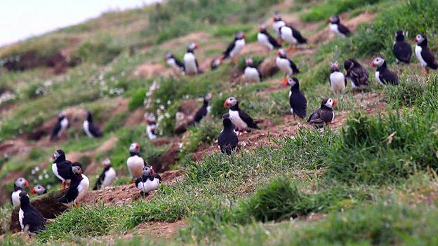 Helping the puffin make a comeback 英海岛研究助濒危物种海鹦鹉数量