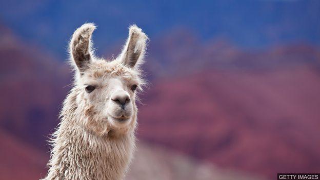 大羊驼血液中藏有战胜所有流感病毒的线索