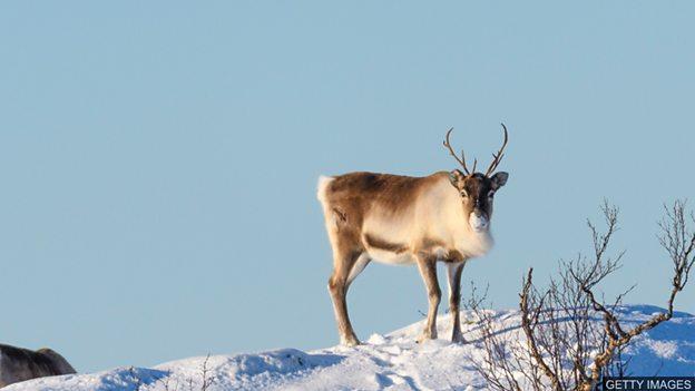 气候变化:北极驯鹿数量跌半