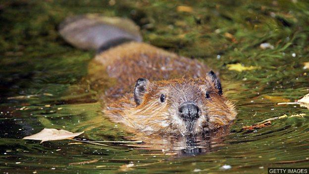 河狸将成为苏格兰保护动物